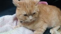 Oliver, mi gato cruce de persa tradicional macho, tiene babeo excesivo o espuma blanca por la boca y vómito blanco espumoso