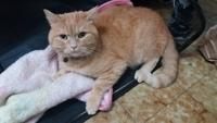 Vómito blanco espumoso en gatos, Persa tradicional