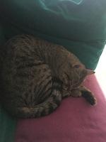 Aumento de ladridos, llantos y aullidos en gatos, Común europeo