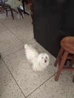 Apatía en perros, Pudelpointer