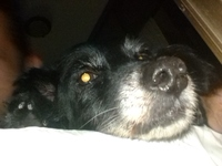Sangrado de nariz en perros, Westie
