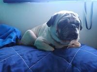 Debilidad en perros, Pug