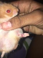 Heridas en roedores, Hámster