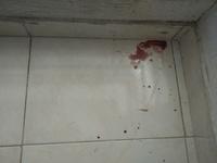 Sangrado de nariz en perros, Cocker spaniel americano