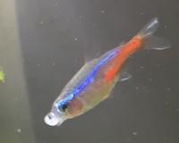 J'ai une question sur Neon, mon poisson tetra néon mâle