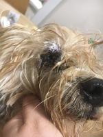 Ojos entrecerrados en perros, Yorkshire terrier