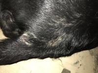 Picor y rascarse en perros, Labrador
