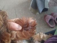 Muerde sus patas delanteras en perros, Yorkshire terrier