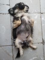 Estreñimiento en perros, Pekinés