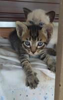 Minos, mi gato cruce hembra, tiene pupilas dilatadas