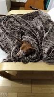 Estornudos en perros, Pinscher miniatura