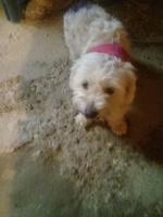 Babeo excesivo o espuma blanca por la boca en perros, Pekinés