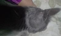 Fiebre en gatos, Azul ruso