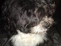 Heridas en perros, Shih Tzu