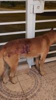 Heridas en perros, Desconocida