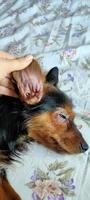 Se rasca en los oídos en perros, Yorkshire terrier