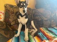 Vómito amarillo en perros, Husky siberiano