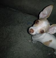 Tos en perros, Chihuahueño