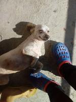 Sangre en las heces en perros, Bichon maltés