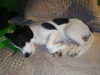 Cielo Alondra, mi perro cruce de fox terrier hembra, tiene pérdida de pelo (alopecia) y picor y rascarse