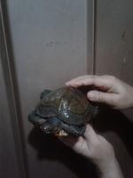 Tengo una duda sobre China, mi reptil tortuga hembra