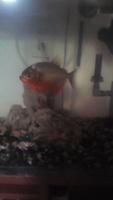 Tengo una duda sobre Piraña, mi pez desconocida macho
