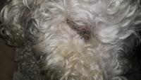Simon, mi perro desconocida macho, tiene secreción ocular y ojos hinchados