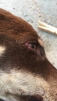Melzinha, meu cão fêmea mistura, tem vômito, urina escura e vômito com sangue