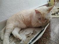 Chiper, mi gato común europeo macho, tiene aumento de peso