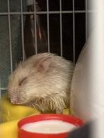 Gustavo, mi roedor hámster ruso macho, tiene hipo