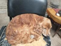 Laslo, mi perro cruce macho, tiene edema en la piel