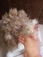 Paçoca, meu cão macho poodle, tem espirros, película acinzentada ou azul sobre os olhos e olhos azulados