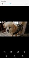 Thom, mi perro cruce de pekinés macho, tiene cambio de color en los ojos y vasos sanguíneos visibles en los ojos