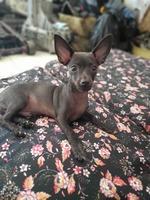 Roco, mi perro pinscher miniatura macho, tiene diarrea y mal apetito