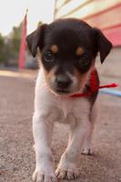 Khloe, mi perro fox terrier hembra, tiene heces o diarrea muy olorosas