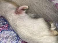 Kiara, mi perro husky siberiano hembra, tiene responde al tocarle en alguna zona donde tuvo dolor