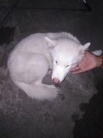 Dante, mi perro husky siberiano macho, tiene dolor abdominal o de estómago y vómito