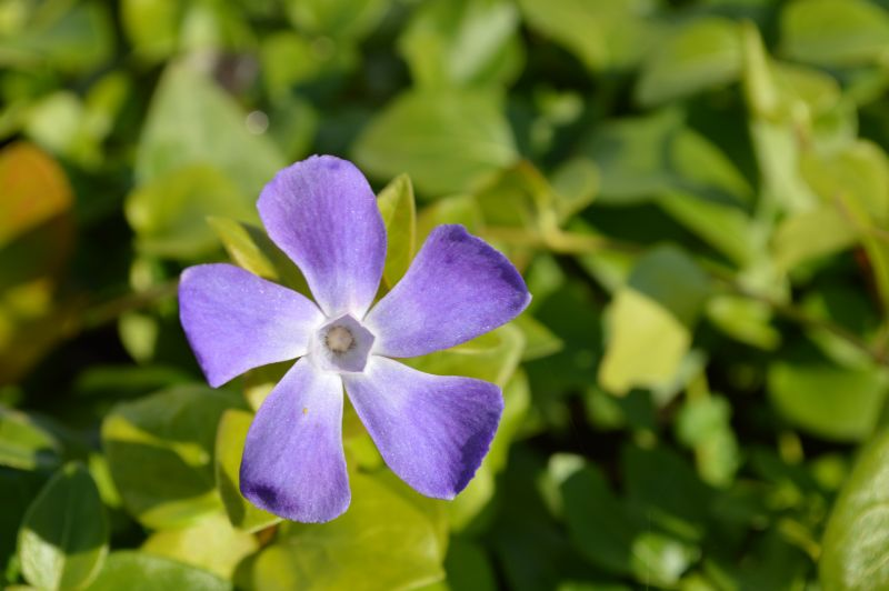 Vinca major greater periwinkle from beardsworths nurseries for Vinca major