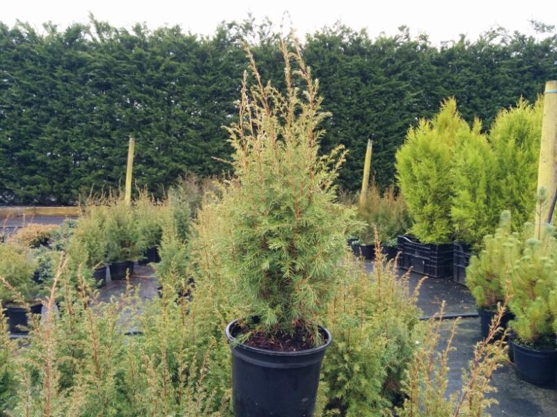 juniperus communis hibernica 2l pot beardsworths nurseries. Black Bedroom Furniture Sets. Home Design Ideas