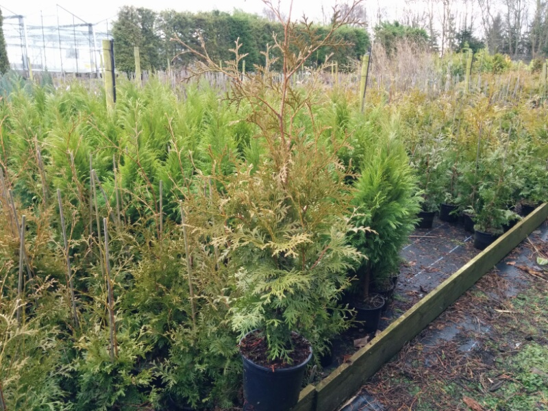 thuja occidentalis brabant 2l pot beardsworths nurseries. Black Bedroom Furniture Sets. Home Design Ideas