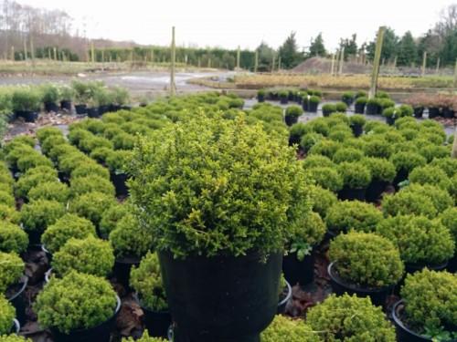 hebe green globe 2l pot beardsworths nurseries. Black Bedroom Furniture Sets. Home Design Ideas
