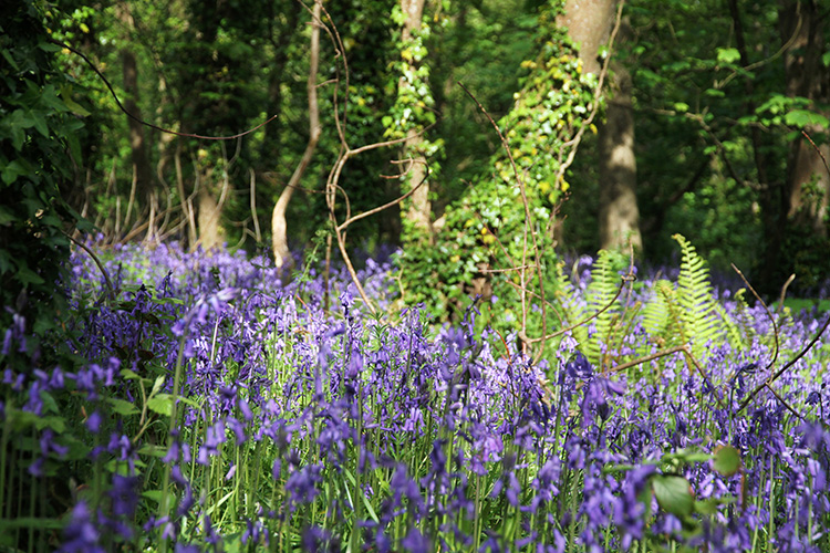 Bella_Luce_Explore_Bluebells_post.jpg