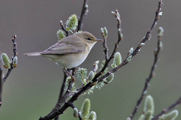 Chris_Bale_Birdbox_Guernsey_Bella_Luce_guest_post_Chiffchaff Article Image 7.jpg
