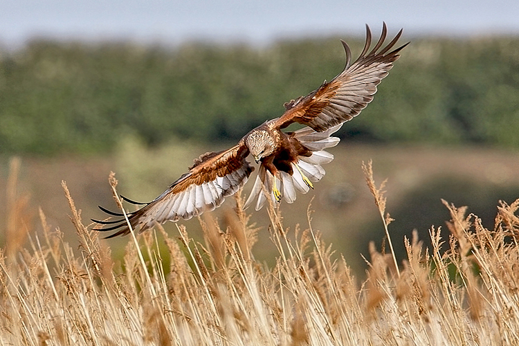 Chris_Bale_Birdbox_Guernsey_Bella_Luce_guest_post_Marsh-harrier Article Image 10.jpg