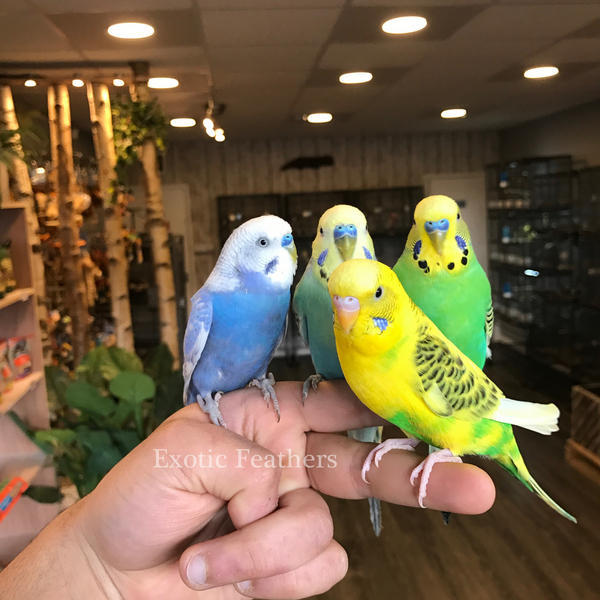 Hand Reared And Super Tame Adorable Baby Budgies For Sale   Birdtrader