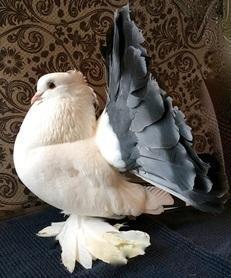 TAILMARK INDIAN FANTAILS FOR SALE VERY RARE BIRDS | Birdtrader