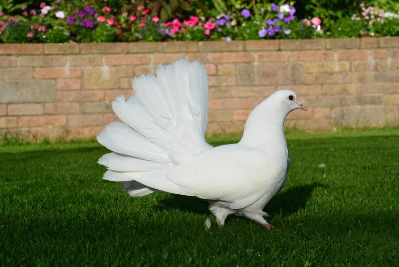Doves For Sale >> White Fantail Doves For Sale Birdtrader