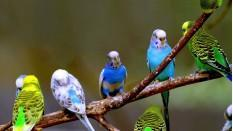 Baby Budgies for sale Hull | Birdtrader