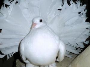 Doves For Sale >> White Garden Fantail Doves For Sale Birdtrader
