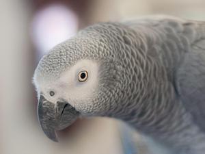 african greys for sale birdtrader. Black Bedroom Furniture Sets. Home Design Ideas